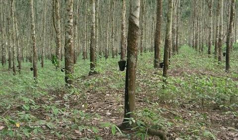 hevea-plantation-au-cameroun